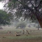 """""""Wielkie koty kontra deszcz"""" w marcu na Nat Geo Wild"""