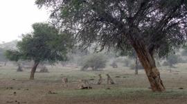 """""""Wielkie koty kontra deszcz"""" w marcu na Nat Geo Wild Film, LIFESTYLE - W programie """"Wielkie koty kontra deszcz"""" dowiemy się, jak radzą sobie afrykańskie dzikie koty podczas trwającej kilka tygodni pory deszczowej, która całkowicie zmienia ich życie."""