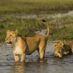 Najwięksi koci drapieżnicy świata powracają na Nat Geo Wild