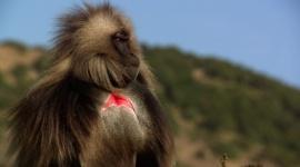 Nat Geo Wild odsłania tajemnice afrykańskich dżelad Film, LIFESTYLE - Nat Geo Wild zabierze widzów w etiopskie góry Semien, gdzie leży królestwo afrykańskich dżelad brunatnych.